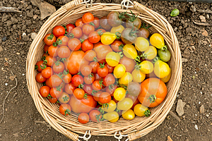 Wooden basket of brightly coloured organic tomatoes and produce