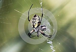 Yellow Garden Spider spinning prey in a web
