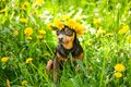 Ð¡ute puppy, a dog in a wreath of spring flowers on a flowering Royalty Free Stock Photo