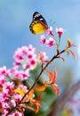 à  à  butterfly wild himalajska wiśnia Zdjęcia Stock