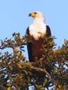 Águila de pescados Imagen de archivo libre de regalías