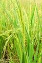 árbol del arroz Fotos de archivo