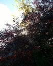 árboles rojos Fotos de archivo libres de regalías