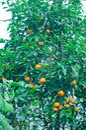 Árvore alaranjada em um jardim botânico Fotografia de Stock Royalty Free