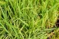 árvore do arroz Imagens de Stock Royalty Free