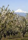 árvores hood mountain landscape background de florescência de um pomar de fruto Imagens de Stock