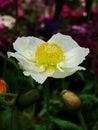 虞美人corn poppy weak also have spring beautiful flowers the beautiful legend Royalty Free Stock Photo