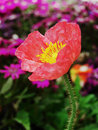 虞美人corn poppy weak also have spring beautiful flowers the beautiful legend Royalty Free Stock Photography