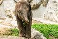éléphant de bébé dans le zoo de chiangmai thaïlande Photos libres de droits