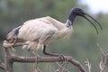 Être perché blanc d'oiseau d'IBIS Photo libre de droits