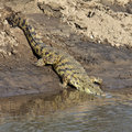 Ð¡rocodile down to the river Stock Photography