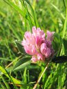 А pink clover flower in drops of morning dew. Joyful morning mood. Royalty Free Stock Photo