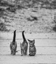 тhree кittens мusketeers three young friends go for a walk Stock Photos