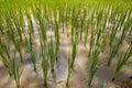 śródpolni Asia ryż Obrazy Stock
