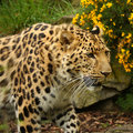 żeński jaguar Fotografia Stock