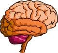 άνθρωπος εγκεφάλου Στοκ εικόνα με δικαίωμα ελεύθερης χρήσης