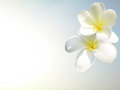 άσπρο plumeria Στοκ Φωτογραφία
