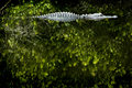 αλλιγάτορας Στοκ φωτογραφία με δικαίωμα ελεύθερης χρήσης