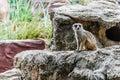 ζωο ογικοί κήποι meir cats στους ζωο ογικούς κήπους ταϊ άν η Στοκ Εικόνα