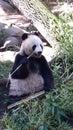 η ανασκόπηση αντέχει το  ευκό ύφους panda απεικόνισης κινούμενων σχε ίων Στοκ φωτογραφία με δικαίωμα ελεύθερης χρήσης