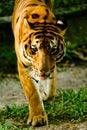 κοιτάζοντας επίμονα τίγρ&eta Στοκ εικόνες με δικαίωμα ελεύθερης χρήσης