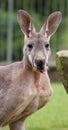 κόκκινο καγκουρό rufus macropus Στοκ εικόνες με δικαίωμα ελεύθερης χρήσης
