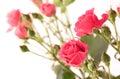 λεπτά τριαντάφυ  α ψεκασμού Στοκ εικόνα με δικαίωμα ελεύθερης χρήσης