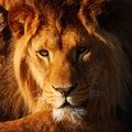 λιοντάρι που στηρίζεται στον ή ιο Στοκ Εικόνες