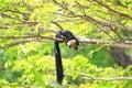 μαύρος γιγαντιαίος σκίουρος Στοκ Φωτογραφία