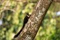 μαύρος γιγαντιαίος σκίουρος Στοκ εικόνες με δικαίωμα ελεύθερης χρήσης