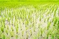 ρύζι ορυζώνα στο πε ίο Στοκ Εικόνες