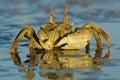 φάντασμα καβουριών Στοκ φωτογραφία με δικαίωμα ελεύθερης χρήσης