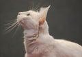 όμορφο στενό επάνω  ευκό γατών Στοκ φωτογραφία με δικαίωμα ελεύθερης χρήσης