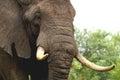 африканский loxodonta с она bush africana Стоковые Фотографии RF