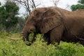 африканский loxodonta с она bush africana Стоковая Фотография
