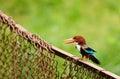 белизна kingfisher throated Стоковая Фотография