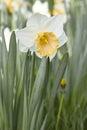 бе ый daffodil Стоковые Фотографии RF