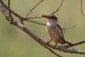 брайн го овый kingfisher рая danae tanysiptera Стоковые Изображения