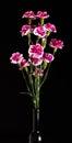 букет цветка пинка гвоз ичного  ерева на темной пре посы ке Стоковая Фотография