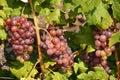 виногра ина Стоковые Фотографии RF