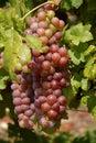 виногра ина Стоковое Изображение RF