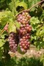 виногра ина Стоковая Фотография