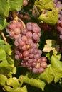 виногра ина Стоковое Изображение