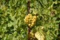 виногра ина Стоковые Изображения