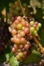 виногра ина Стоковые Фото