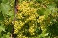 виногра ина Стоковая Фотография RF
