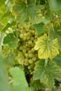виногра ина Стоковое Фото
