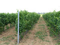 виногра ник Стоковая Фотография