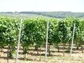 виногра ник Стоковые Изображения