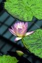 вода лилии розовая Стоковое Изображение RF